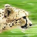 Run Cheetah Run by Lizi Beard-Ward