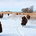 Running Buffalo by Chris Harris