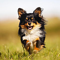 Running Chihuahua by Mikkel Bigandt