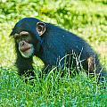 Running Chimp by Jonny D