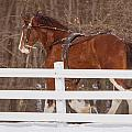 Running Clydesdale by Natalie Rotman Cote