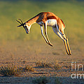Running Springbok jumping high by Johan Swanepoel