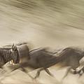 Running Wildebeest I by Boyd Norton