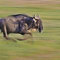 Running Wildebeest IIi by Boyd Norton