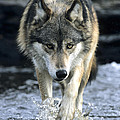 Running Wolf by Chris Scroggins