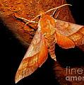 Rusty Sphinx Moth by Joshua Bales