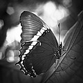 Rusty Tip Butterfly Black And White by Bradley R Youngberg