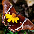 Rusty-tipped Page Butterfly by AnnaJo Vahle