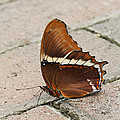 Rusty Tipped Page Butterfly by Judy Whitton