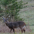 Rutting Buck by Todd Hostetter