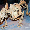 Saber-toothed Cat by Millard H. Sharp