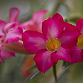 Sabi Star - Desert Rose Garden Of Dreams Hawaii by Sharon Mau