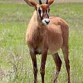 Sable Antelope Calf by Julie Keller