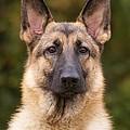 Sable German Shepherd Dog by Sandy Keeton