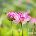 Sacred Lotus by Bill  Robinson