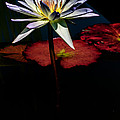 Sacred Water Lilies by Louis Dallara