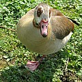 Sad Goose by Christiane Schulze Art And Photography