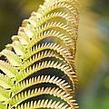 Sadleria Cyatheoides Amau Fern Maui Hawaii by Sharon Mau
