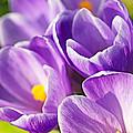 Saffron Flowers. by Jaroslav Frank