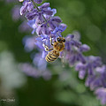 Sage Bee by Mary Machare
