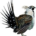 Sage Grouse  by Anonymous