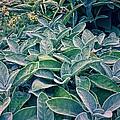 Sage In The Garden by Michelle Calkins
