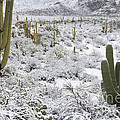 Saguaro Cacti After Rare Desert by John Shaw