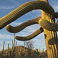 Saguaro Cacti Saguaro Np Arizona by Kevin Schafer