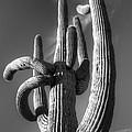 Saguaro Cactus Monochrome by Bob Christopher