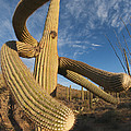 Saguaro Cactus Saguaro Np Arizona by Kevin Schafer