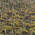 Saguaro Forest At The Foot Of Four Peaks by Tom Janca