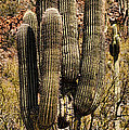 Saguaro Of Many Arms by Heather Applegate