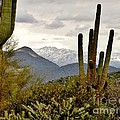 Saguaro Sentinels by Marilyn Smith