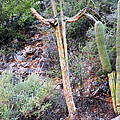Saguaro Skeleton by Jemmy Archer