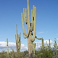 Saguaros With Green Grass by Tom Janca