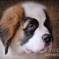Saint Bernard Puppy by Jai Johnson