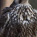 Saker Falcon by Chris Flees