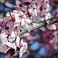 Sakura Blossoms by Anthony Citro