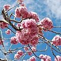 Sakura Tree Blossoms by Natalie Lise Harvey