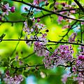 Sakura Tree In Bloom - Featured 3 by Alexander Senin