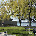 Salem Willow Trees by Ruth H Curtis