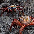 Sally Light Foot Crabs Galapagos by Jason O Watson