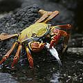 Sally Lightfoot Crab Feeing Galapagos by Tui De Roy