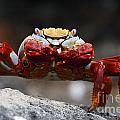 Sally Lightfoot Crab Galapagos by Jason O Watson