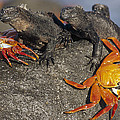 Sally Lightfoot Crabs And Marine by Tui De Roy
