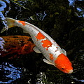 Salmon And White Koi by Kirsten Giving