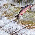 Salmon Jumping Issaquah Hatchery by William Perry
