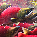 Salmon Run - Painterly by Wingsdomain Art and Photography