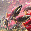 Salmon Run - Square - Painterly - 2013-0103 by Wingsdomain Art and Photography