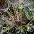 Salsify Seeds - 1 by Kenny Glotfelty